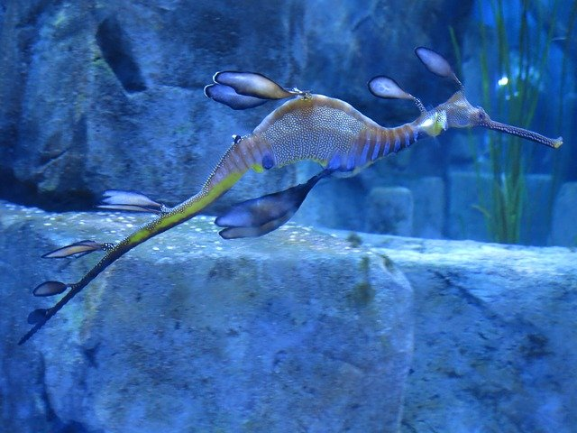 sea-dragon-883283_640