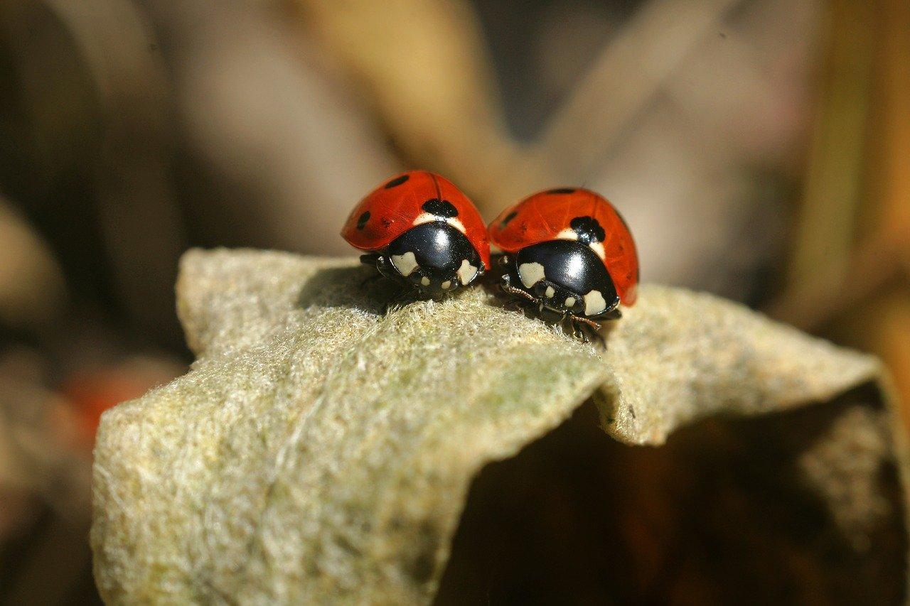lady-bug-3292238_1280